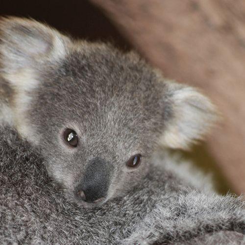 Bebe_koala_EORA-(c)ZooParcdeBeauval-(4)