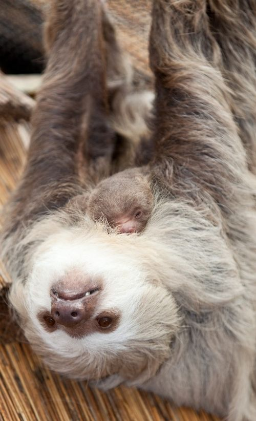 Baby sloth sleeps on mom at Lincoln Park Zoo 3