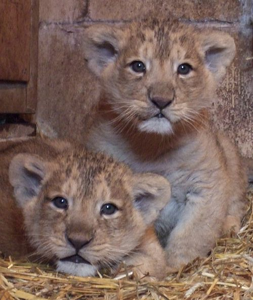 Lion cubs at Bristol Zoo. Credit Bristol Zoo Gardens 4