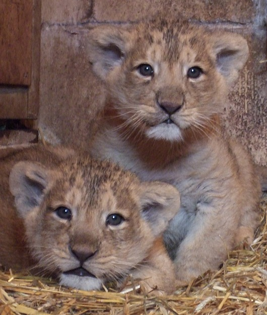 Lion cubs at Bristol Zoo. Credit Bristol Zoo Gardens 4