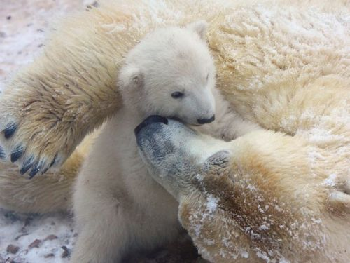 Polar Bear cub gets a kiss from mom at Aalborg Zoo 5