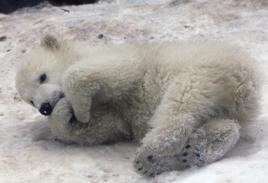 Polar Bear cub maxing and also relaxing at Aalborg Zoo 4