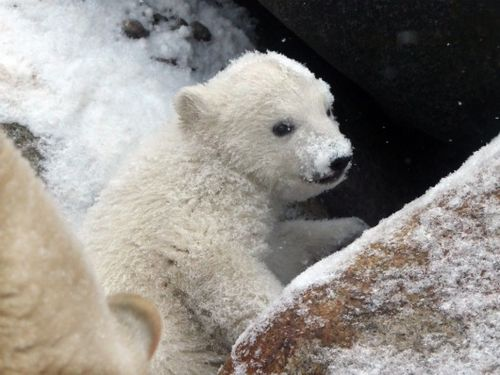 Polar bear cub powdering nose at Aalborg Zoo 2