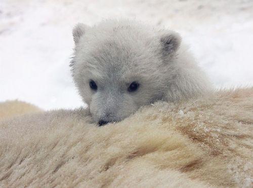 Polar Bear cub relaxing on mom at Aalborg Zoo 6