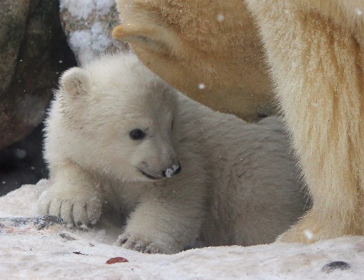 Portrait of a Polar Bear nestles near mom at Aalborg Zoo