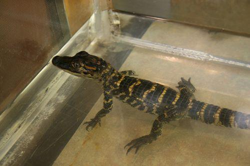 Sanf-Francisco-Alligator-1