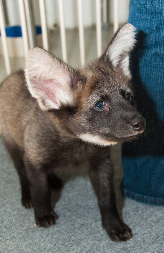 Houston-Zoo-Dora-and-Diego-Maned-Wolf-Pups-15