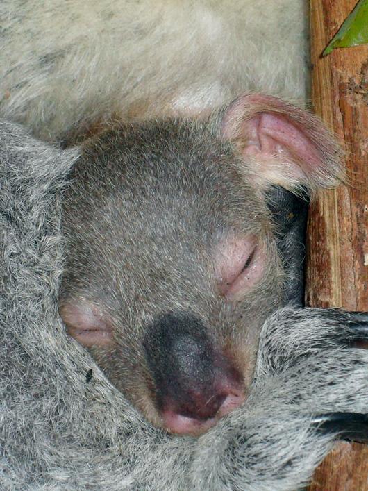 SF-Zoo-Koala4