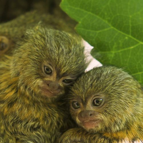 Perth-Zoo-Pygmy-Marmoset-Twins