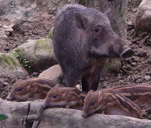 Formosan Wild Boar hoglets at Taipei Zoo 1