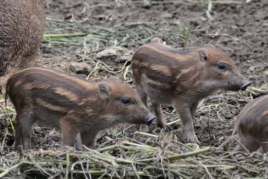 Formosan Wild Boar hoglets at Taipei Zoo 2a