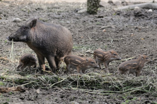 Formosan Wild Boar hoglets at Taipei Zoo 2b