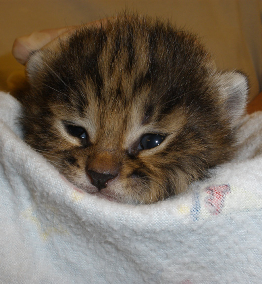 Audubon-Black-Footed-Cat-1