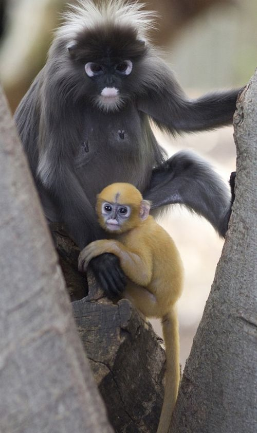 Dusky Langur at the Adelaide Zoo 1