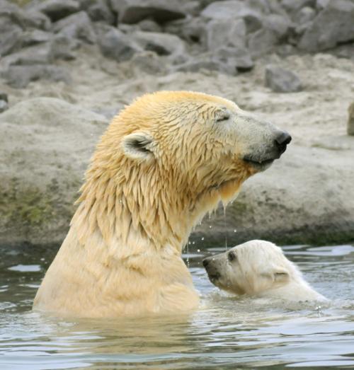 Polar Bear Blijdrop 3