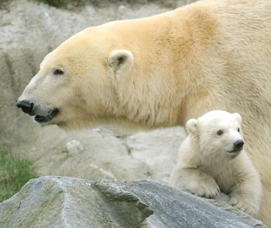 Polar Bear Blijdrop 2