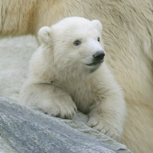 Polar-Bear-Blijdrop-4