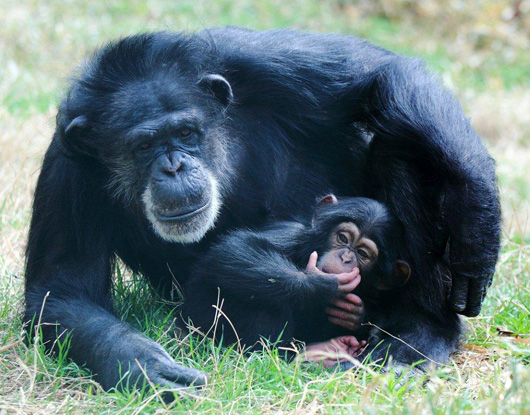 Nori-chimp-5