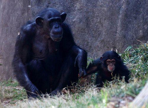 Nori-chimp-6
