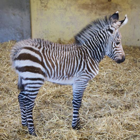 Tebogo-Blackpool-Hartmann's-Zebra