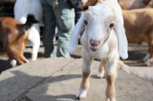 _Julie-Larsen-Maher-8112-Nubian-Goat-Kids-TCZ-CPZ-03-18-11