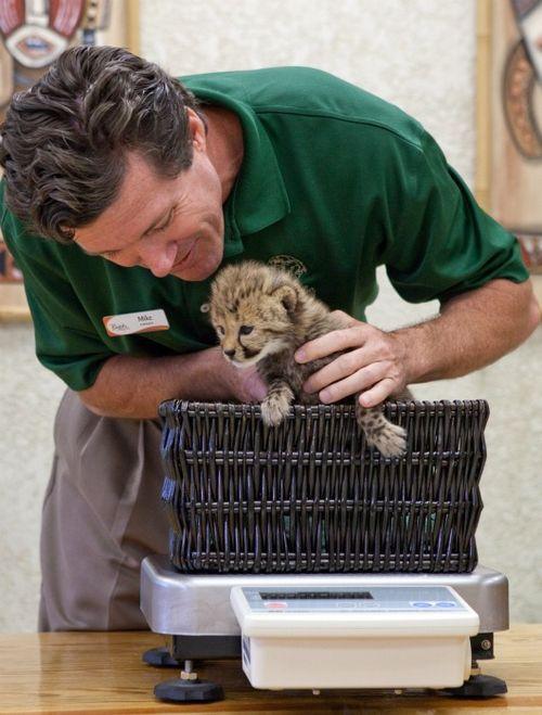 Cheetah Kitten Busch Gardens Tampa Bay 4b