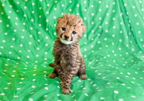 Cheetah Kitten Busch Gardens Tampa Bay 1