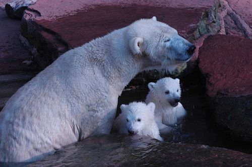 Polar-Bear-Twins-Nuremburg-2