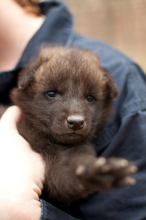 Greensboro-Maned-Wolf-Pups-12