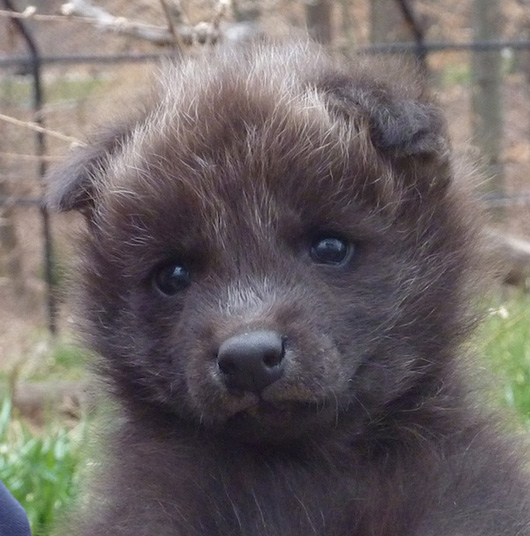 Greensboro-Maned-Wolf-Pups-8
