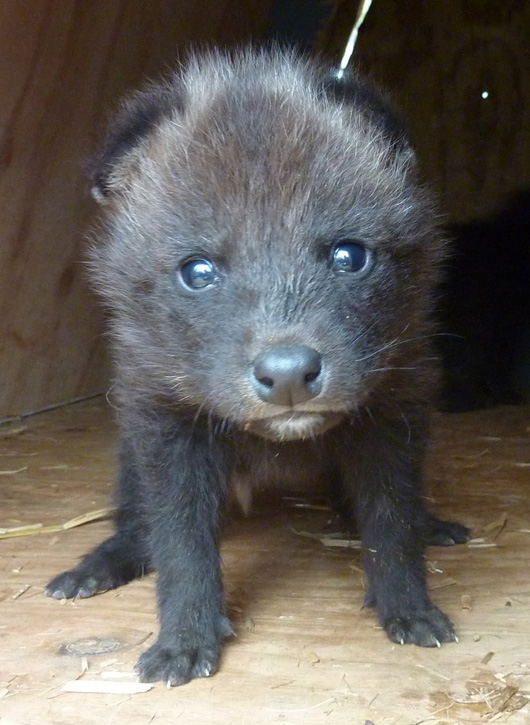 Greensboro-Maned-Wolf-Pups-10