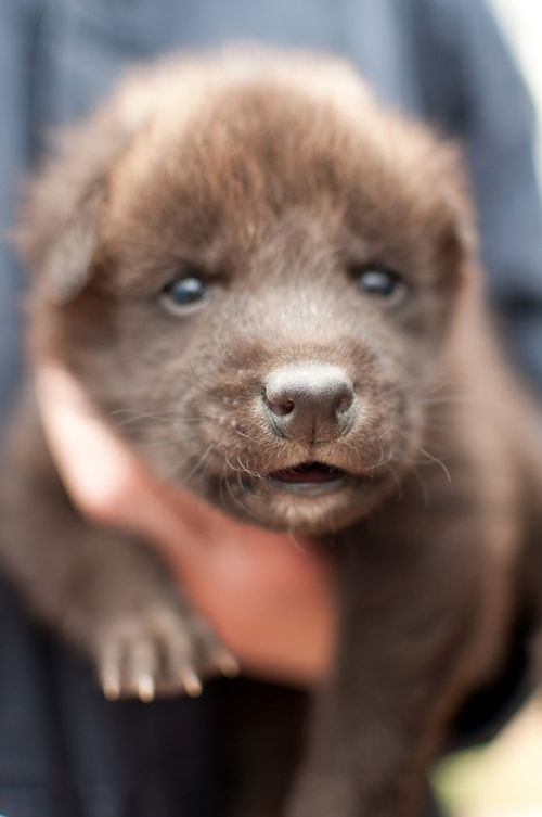Greensboro-Maned-Wolf-Pups-11