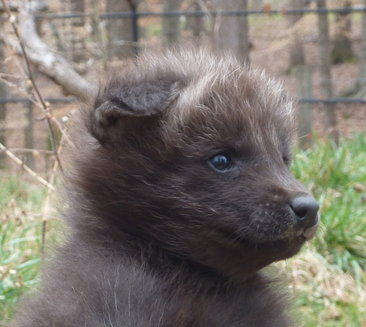 Greensboro-Maned-Wolf-Pups-7