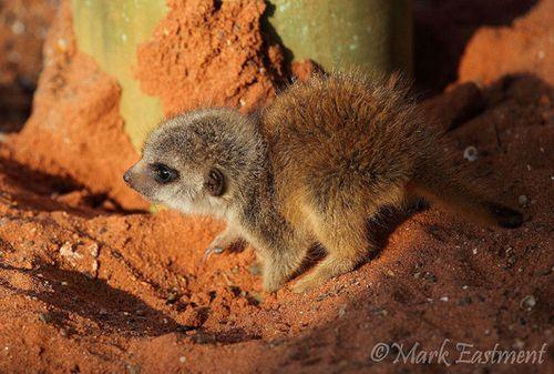 Bristol-meerkat