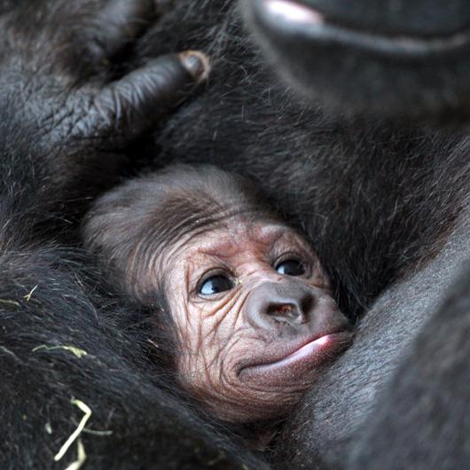 Dublin-Zoo-Gorilla-1