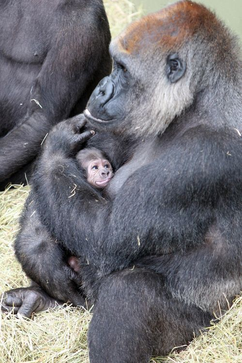 Dublin-Zoo-Gorilla-2