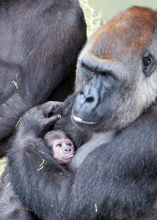 Dublin-Zoo-Gorilla-3