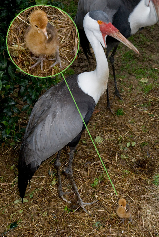 National-Zoo-Wattled-Crane2