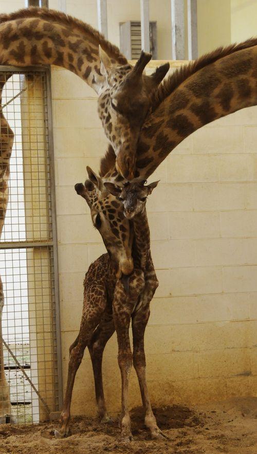 Cincinnati-zoo-giraffe2