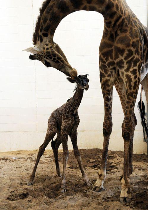 Cincinnati-zoo-giraffe