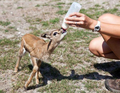 Gazelle2_20110330154714_640_480