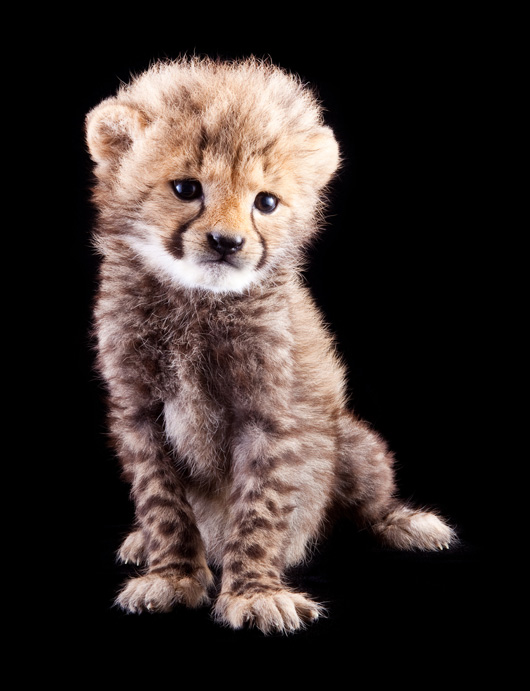 Busch-Gardens-Cheetah-at-5-Weeks