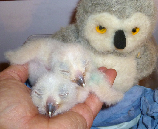 Turkmenian-Eagle-Owlets-16.03.11,-2-days-old,-3rd-chick-not-yet-hatched