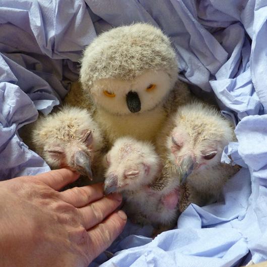Turkmenian-Eagle-Owlets-pictured-2-weeks-old-on-28.03.11