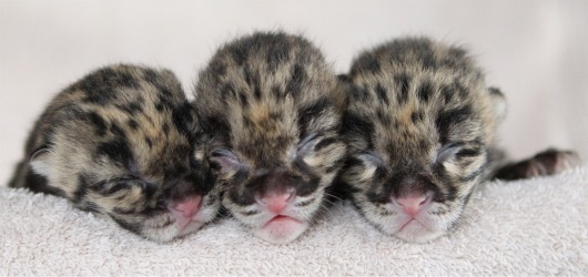 Clouded Leopard Cub Triplets at Nashville Zoo - Christian Sperka