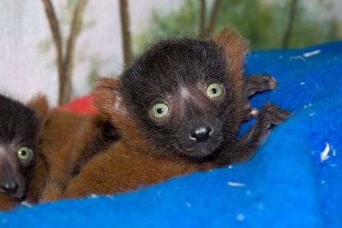 Red_ruffed_lemur_young_8545l_dp