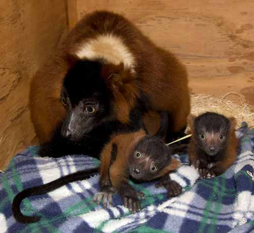 Red_ruffed_lemur_babies_8520l_dp