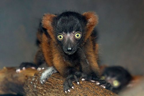 Red_ruffed_lemur_babies_8987l_dp