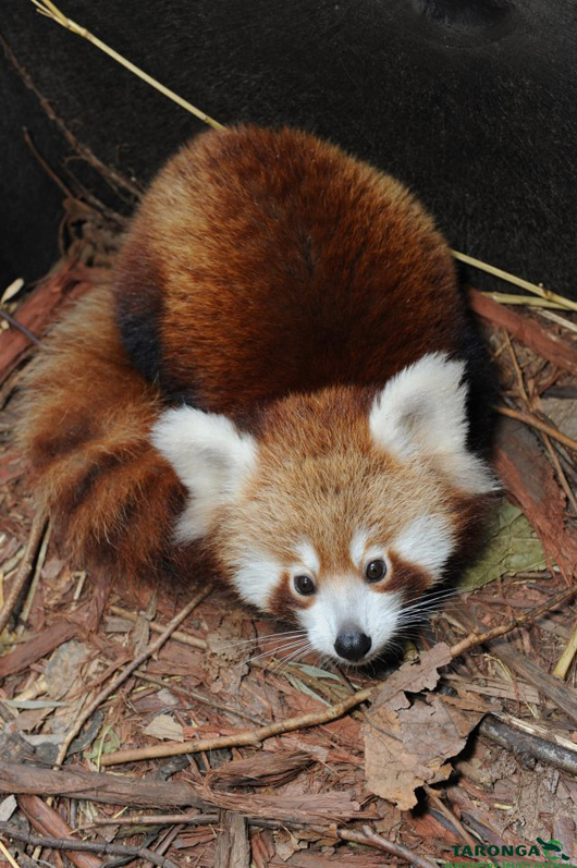 4red_panda_peter_hardin