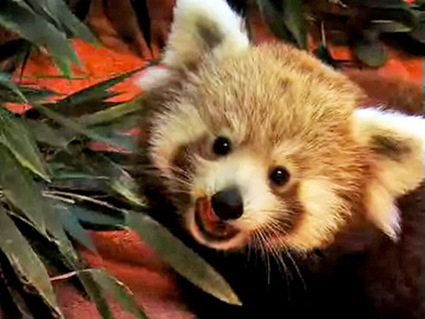 Firefox-cubs-mozilla-red-panda-2